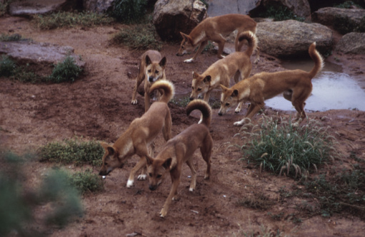 Animals Hunting「Pack of dingoes hunting in Australian outback」:スマホ壁紙(5)