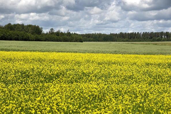 Oilseed Rape「Latvia」:写真・画像(6)[壁紙.com]