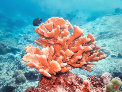 サンゴ「Acropora」:スマホ壁紙(12)