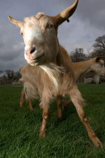 Goatee「Channel Island goats (Capra aegagrus hircus) descended from WWII survivors, Church farm, Suffolk, UK」:スマホ壁紙(19)