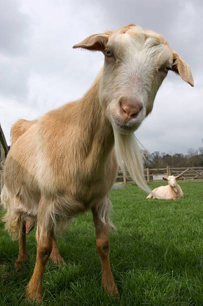Channel Island goat (Capra aegagrus hircus) descended from WWII survivors, Church farm, Suffolk, UK:スマホ壁紙(壁紙.com)