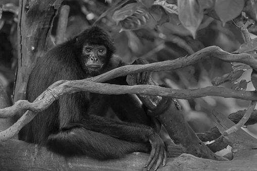 Branch「Black headed spider monkey」:スマホ壁紙(6)