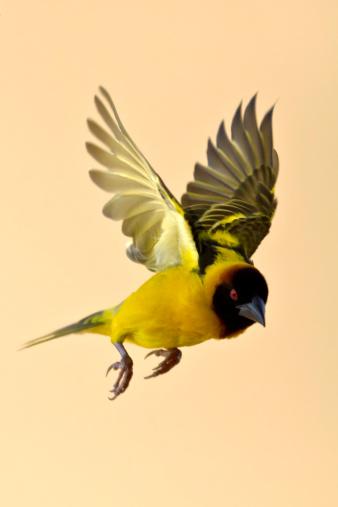 Spread Wings「Black Headed Weaver in flight」:スマホ壁紙(19)