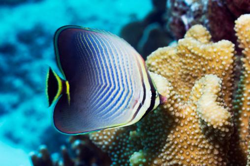 Butterflyfish「Eastern triangle butterflyfish」:スマホ壁紙(8)