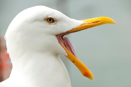 Seagull「Seagull opening its beak」:スマホ壁紙(18)