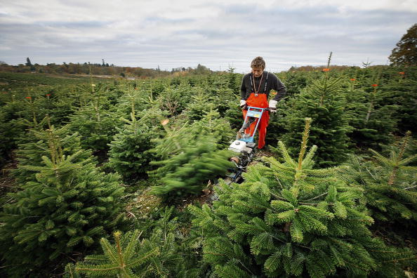 Cutting「Christmas Trees Are Prepared For Customers」:写真・画像(3)[壁紙.com]