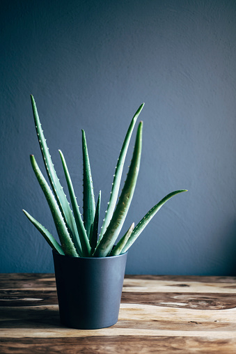 Potted Plant「Potted Aloe Vera」:スマホ壁紙(11)