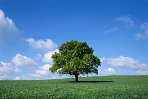 Single Tree「English oak tree (Quercus robur) in field, Lincolnshire, England」:スマホ壁紙(4)