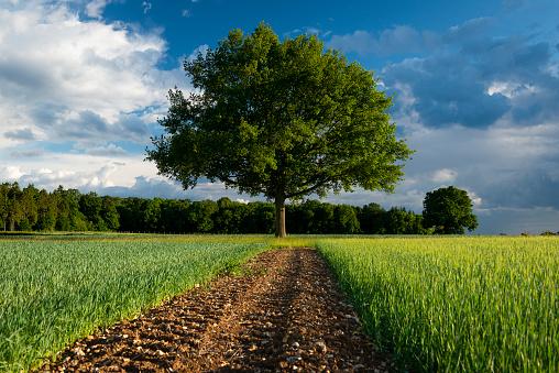 Family Tree「English Oak tree in farmland.Storm clearing the sky.」:スマホ壁紙(7)
