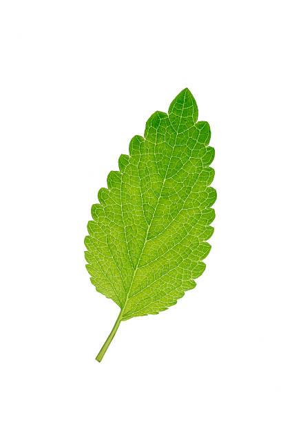 Mint leaf, Mentha, white background:スマホ壁紙(壁紙.com)