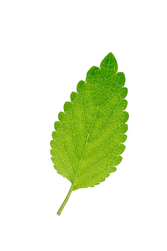 Sage「Mint leaf, Mentha, white background」:スマホ壁紙(12)