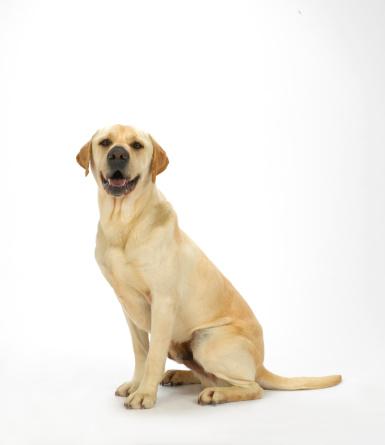 座る「Dog on White 60」:スマホ壁紙(12)
