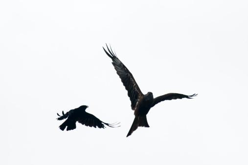 kite flying「Carrion crow mobbing red kite」:スマホ壁紙(10)