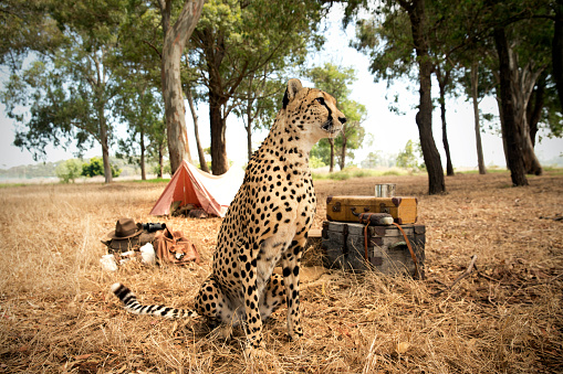Animals Hunting「South Africa, cheetah sitting in front of a tent on a meadow」:スマホ壁紙(15)