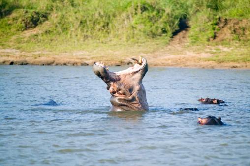 カバ「South Africa, St. Lucia,Greater St. Lucia Wetland Park World Heritage Site, Hippopotamuses in waterhole」:スマホ壁紙(13)