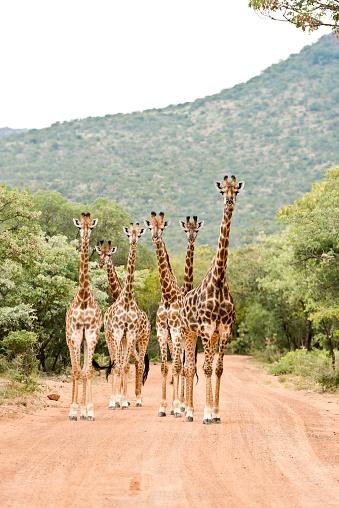 Giraffe「South Africa, Limpopo, Marakele National Park, Group of giraffes standing in road」:スマホ壁紙(7)