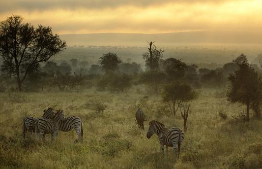 動物「South Africa, Kruger National Park, Misty morning with Zebras and wildebeest」:スマホ壁紙(17)