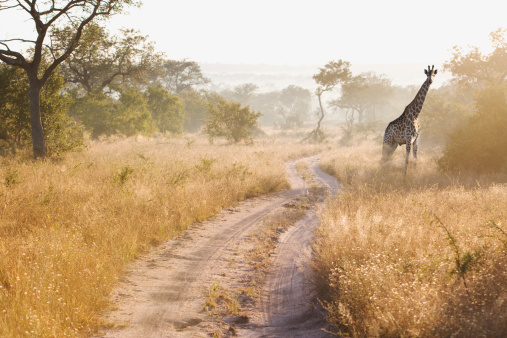 Giraffe「South Africa, Giraffe in bush」:スマホ壁紙(14)