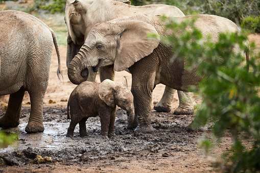 Animals In The Wild「South Africa, Eastern, Cape, Addo Elephant National Park, african elephants, Loxodonta Africana」:スマホ壁紙(14)