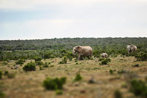 Males「South Africa, Eastern, Cape, Addo Elephant National Park, african elephants, Loxodonta Africana」:スマホ壁紙(7)