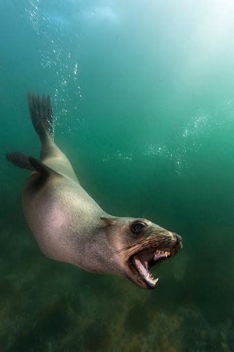 Animals Hunting「South Africa, Ocean, South african fur seal, Arctocephalus pusillus」:スマホ壁紙(18)