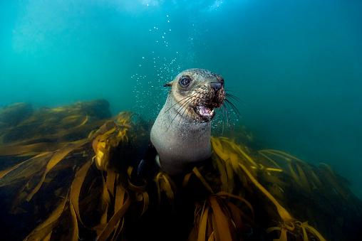 Sea Lion「South Africa, Ocean, South african fur seal, Arctocephalus pusillus」:スマホ壁紙(6)