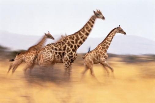 Giraffe「South African giraffes (Giraffa camelopardalis giraffa) running」:スマホ壁紙(4)