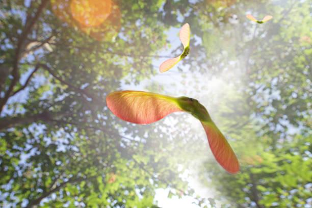 sycamore tree seeds flying through sunny sky:スマホ壁紙(壁紙.com)