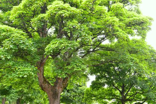 セイヨウカジカエデ「Sycamore tree」:スマホ壁紙(3)