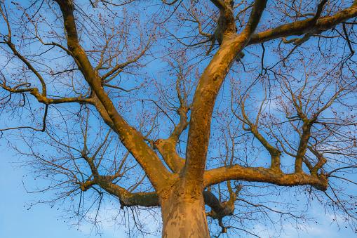 セイヨウカジカエデ「Sycamore Tree in Early Spring」:スマホ壁紙(14)
