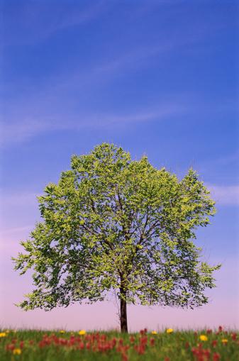 セイヨウカジカエデ「Sycamore Tree」:スマホ壁紙(9)