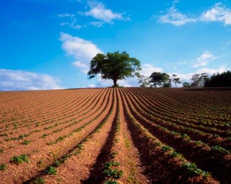 セイヨウカジカエデ「Sycamore Tree And Potatoes Growing In A Field, Ireland」:スマホ壁紙(6)