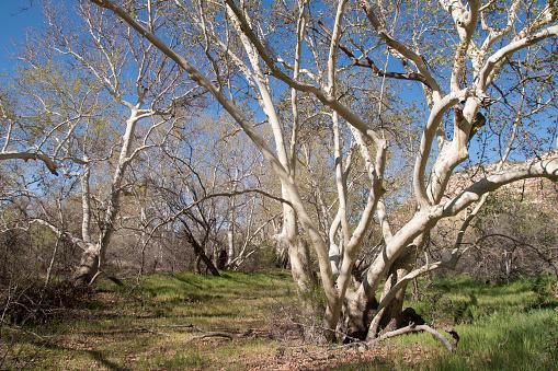 セイヨウカジカエデ「Sycamore trees in grassy meadow, Arizona.」:スマホ壁紙(6)