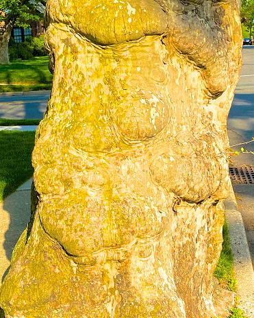セイヨウカジカエデ「Sycamore tree trunk」:スマホ壁紙(12)