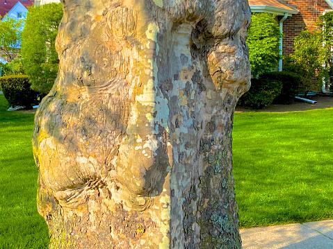セイヨウカジカエデ「Sycamore tree trunk」:スマホ壁紙(17)