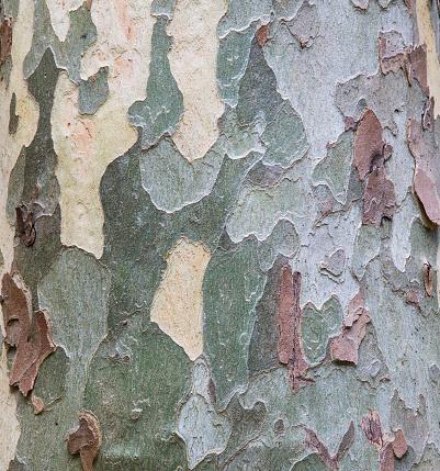 セイヨウカジカエデ「Sycamore Tree Bark Design」:スマホ壁紙(6)