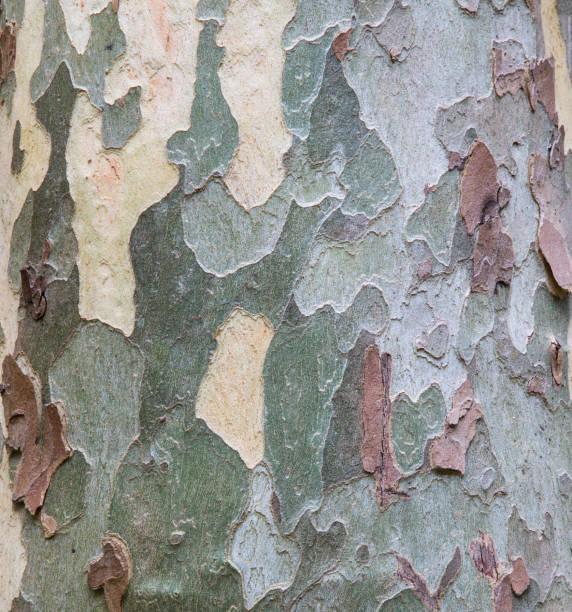 Sycamore tree (Acer pseudoplatanus) bark design, Oak Creek, Arizona, USA:スマホ壁紙(壁紙.com)