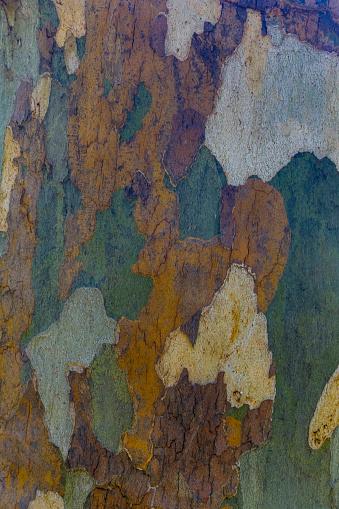 セイヨウカジカエデ「Sycamore tree (Acer pseudoplatanus) bark design, Oak Creek, Arizona, USA」:スマホ壁紙(4)