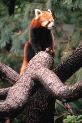 パンダ「Red Panda, Central Park Zoo, New York」:スマホ壁紙(12)