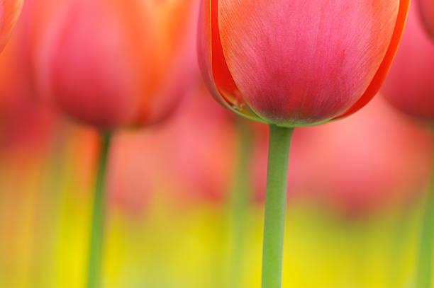 Tulips at selective focus in spring, close up.:スマホ壁紙(壁紙.com)