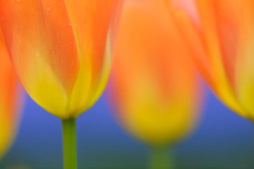 Keukenhof Gardens「Tulips at selective focus in spring, close up.」:スマホ壁紙(2)