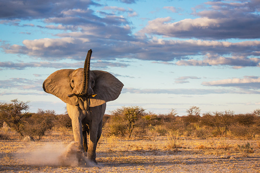 Dust「An elephant bull kicking up sand as a warning after a mock charge」:スマホ壁紙(17)