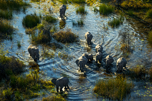 Okavango Delta「An elephant family walking through marsh land.」:スマホ壁紙(9)