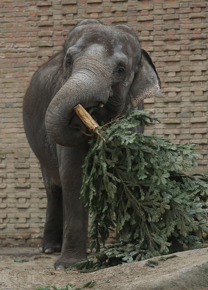 Tree「Elephants Snack On Christmas Trees At Berlin Zoo」:写真・画像(8)[壁紙.com]