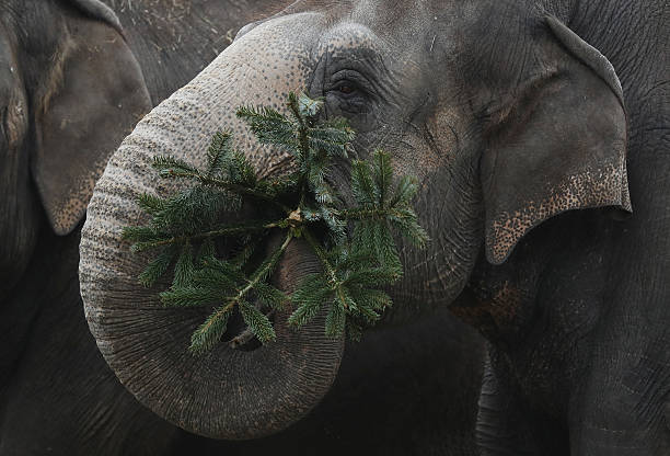 Elephants Snack On Christmas Trees At Berlin Zoo:ニュース(壁紙.com)