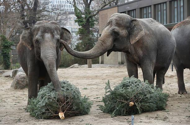 Elephants Snack On Christmas Trees At Berlin Zoo:ニュース(壁紙.com)