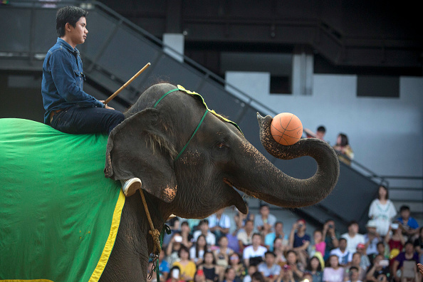 Brent Lewin「Elephant Shows Draw Tourists In Thailand」:写真・画像(19)[壁紙.com]