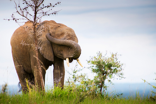 Shy「An elephant with trunk twisted over its face to cover its eyes and plug its ears, Murchison Falls National Park」:スマホ壁紙(15)