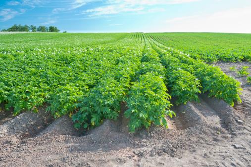 Japan「Potato farm growing on sand」:スマホ壁紙(0)