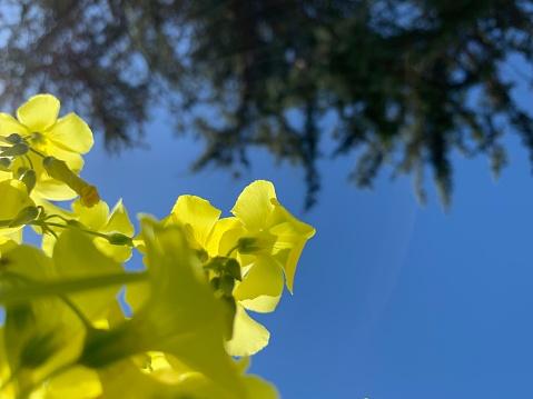 Wood Sorrel「Bermuda buttercup flowers and blue sky」:スマホ壁紙(19)